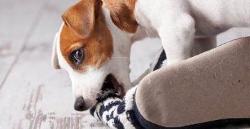 Как отучить собаку грызть обувь. Собака грызет обувь: что делать? Почему собака таскает обувь