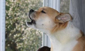 Как отучить скулить собаку в отсутствие хозяев. Как отучить собаку лаять и выть дома, когда она остается одна. Причины собачьего воя